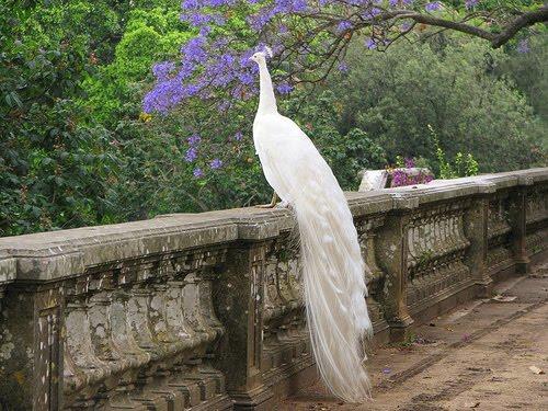 White Peacock, Botanical Garden, Lisbon, Portugal